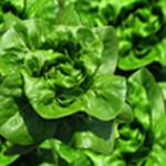 Bibb Lettuce/12 heads